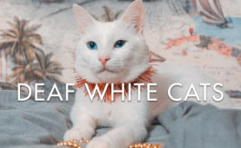 Deaf White Cats