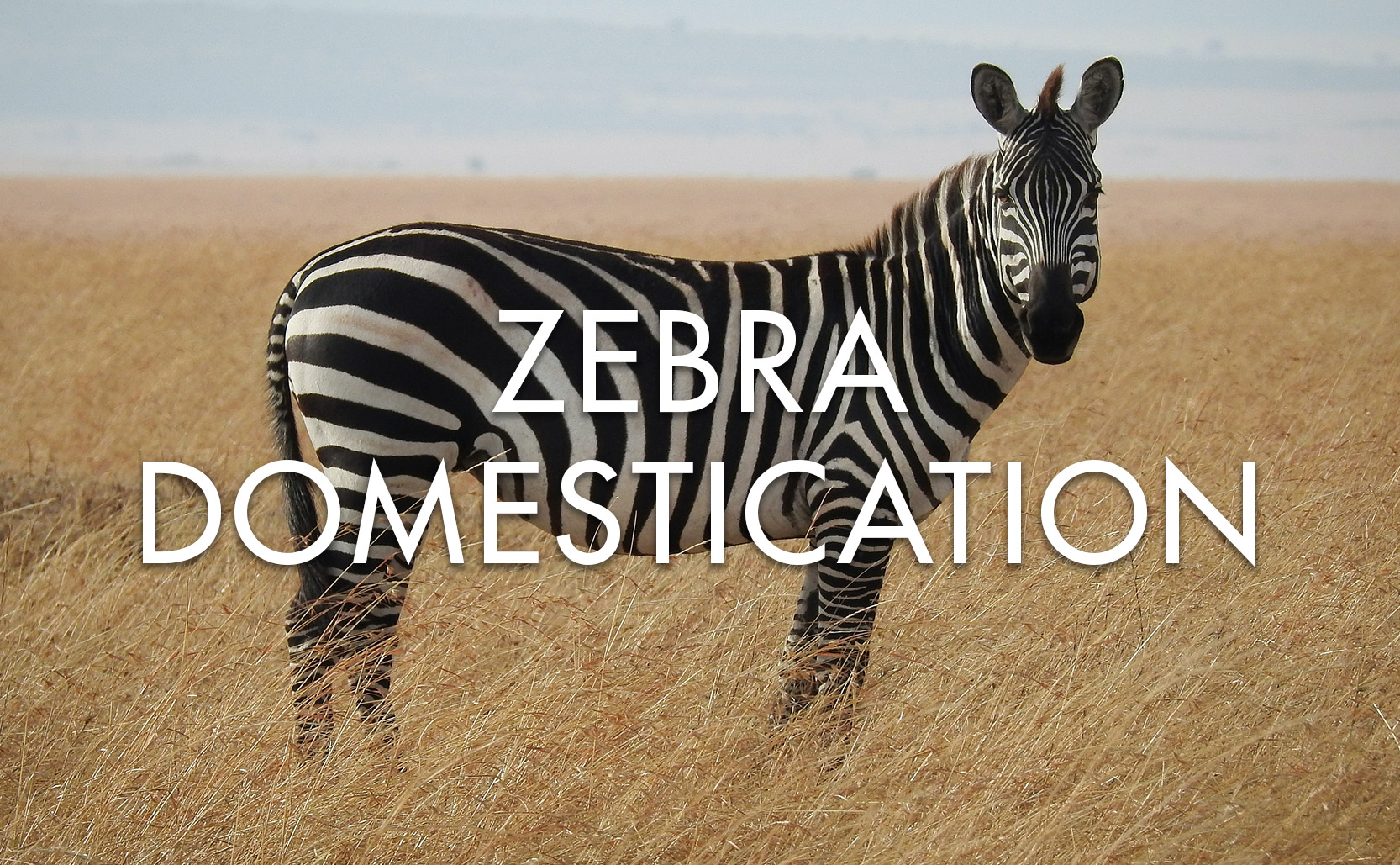 You are currently viewing Zebra Domestication